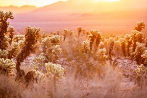 Cholla Cactus Garden Joshua Tree au lever du soleil